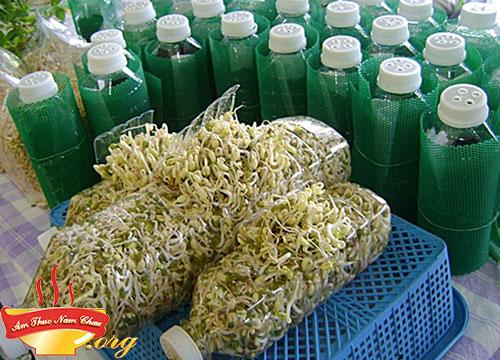 Thu hoạch giá đỗ bằng chai nhựa